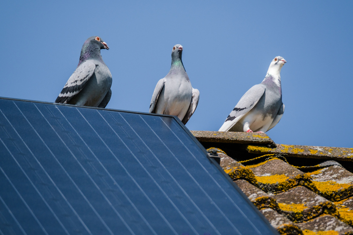Are your Solar Panels Pigeon proof?